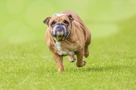 Grumpy looking overweight bulldog runs over the green
