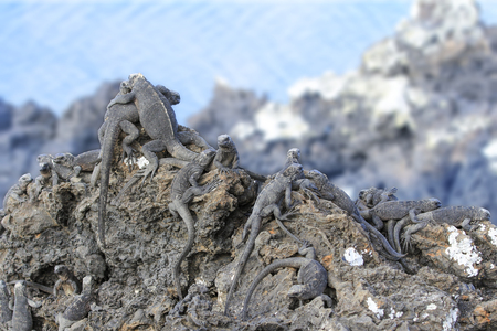 buddies: Group of Galapagos iguanas taking a sunbath on a rock. Two on the peak of the rock hug each other like buddies.