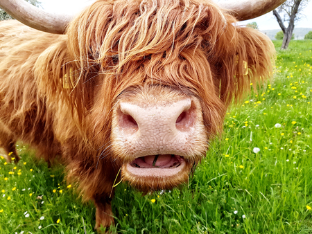 closeup cow face: Close up of grass chewing highland cow on a green meadow which tries to look through its head of hair. Stock Photo