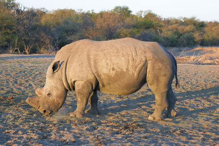poaching: Side view of a dehorned rhino. Dehorning of the rhinos is an instrument to protect the rhino from poaching.