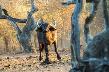game drive: South africa game drive in the early morning. Curious buffalo between gnarled trees watches the viewer. The early morning sun gives the photo an appearance of a classic painting. Stock Photo