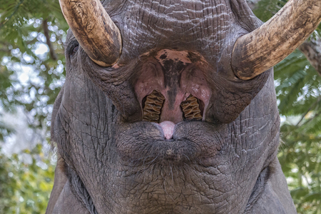anatomic: Close up of an wide open elephant mouth. It shows anatomic details of the elephant throat like its teeth, tongue and the  roof of the mouth Stock Photo