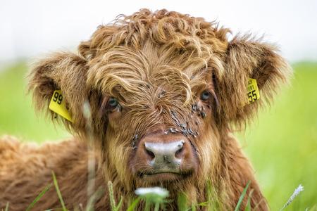 Cierre de ternera vaca de la montaña situada en la hierba