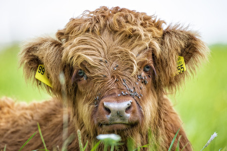 closeup cow face: Close up of highland cow calf lying in grass Stock Photo