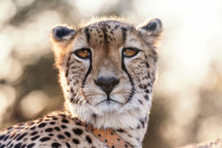 animal heads: Crisp warm photo of cheetah with a sender looking at the camera Stock Photo