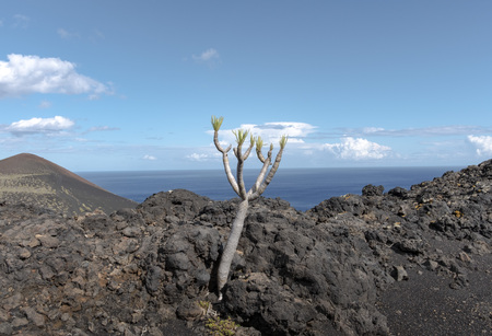ruta: Shot of the famous hiking path Ruta de los vulcanos , taken in the south of la Palma nearby Los Canarios. The foreground shows a small drago tree between lava rocks