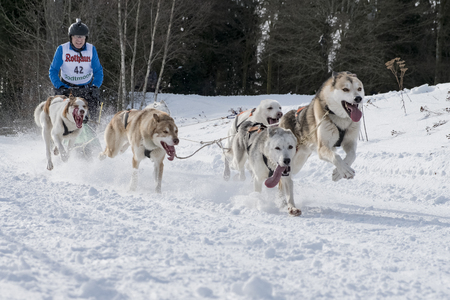 dog sled: Todtmoos, Baden-Wuerttemberg, Germany - January 28, 2017: International dog sled race at Todtmoos  Black forest. Front view of sled dogs with  musher in the background. Editorial