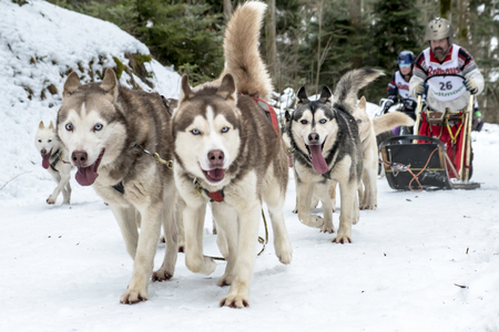 Todtmoos, Baden-Wuerttemberg, Germany - January 28, 2017: International dog sled race at Todtmoos  Black forest. Front view of husky sled dogs with nostalgic wood sled and the musher in the background.