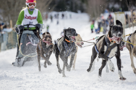 dog sled: Todtmoos, Baden-Wuerttemberg, Germany - January 28, 2017: International dog sled race at Todtmoos  Black forest. Front view of sled dogs with female musher in the background.