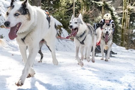dog sled: Todtmoos, Baden-Wuerttemberg, Germany - January 28, 2017: International dog sled race at Todtmoos  Black forest. Front view of sled dogs with male musher scaling the hill.