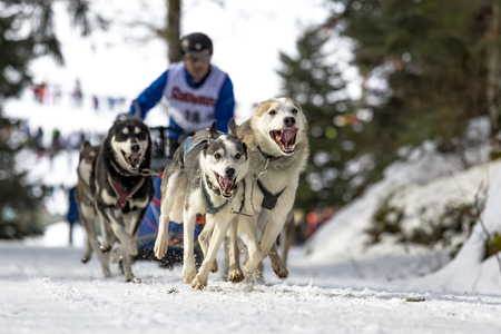 dog sled: Todtmoos, Baden-Wuerttemberg, Germany - January 28, 2017: International dog sled race at Todtmoos  Black forest. Front view of sled dogs with male musher in the background.
