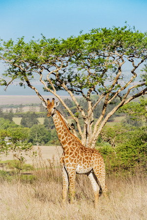 Beautiful young giraffe stands in front of a acacia tree in Drakensberg mountains South Africa