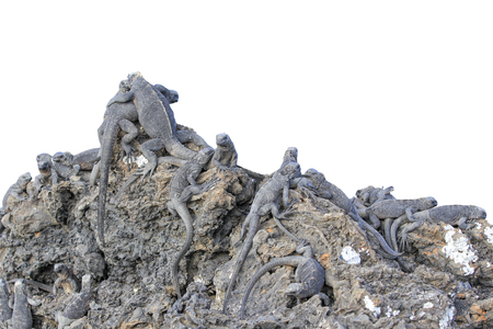 Isolated group of Galapagos iguanas taking a sunbath on a rock. Two on the peak of the rock hug each other like buddies.