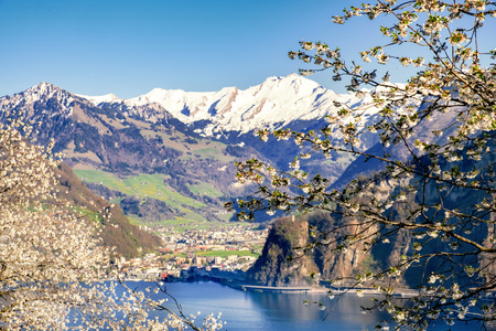Lake Lucerne with snow covered mountains at spring with  apple blossoms in the foreground Фото со стока