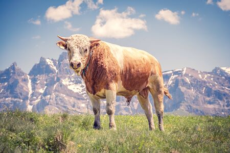 Young bull in front of a mountain massif looking straight to the viewer Фото со стока