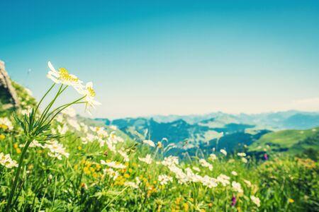 Beautiful mountain meadow with mass of pasqueflowers in front of mountain panorama Фото со стока
