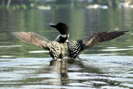 restfulness: Maine Loon Drying Wings