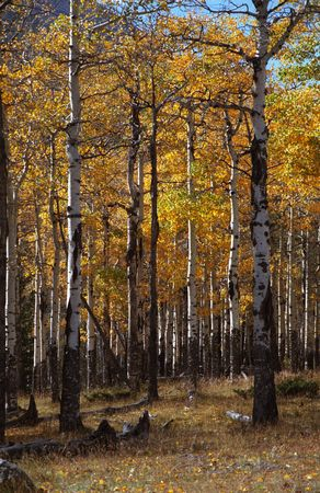 restfulness: Colorado Aspens Stock Photo