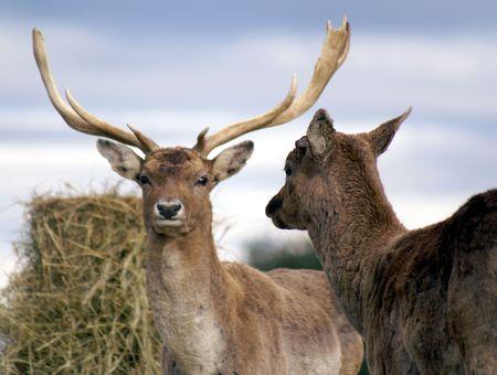 auroral: Buck