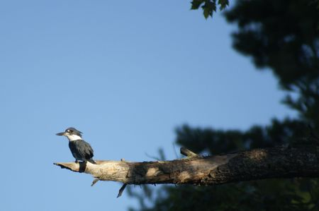 lonely bird: Belted Kingfisher                    Stock Photo