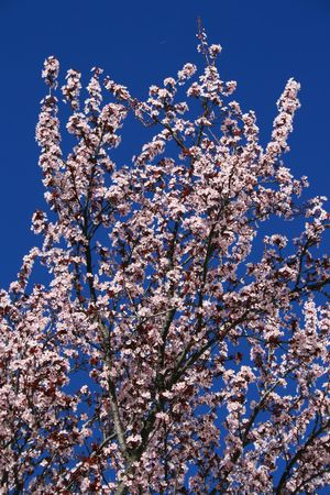 prunus cerasifera: Cherry blossoms close up over clear blue sky.