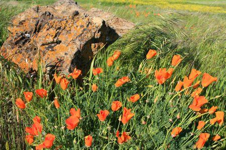 California poppy flowers next to a rock. photo