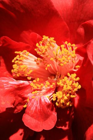 Red camelia flower close up in a garden. photo