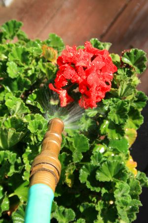Close up of a water hose spraying geranium flower. Stock Photo - 2831718