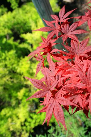 Japanese Maple Leaves Stock Photo - 3233063