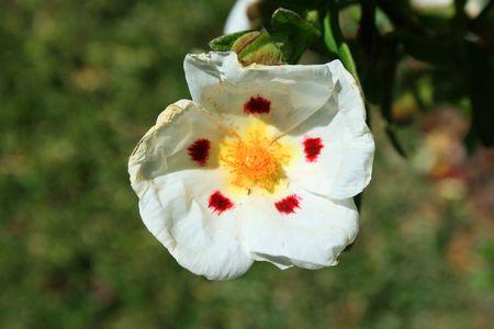 Primrose Flower photo