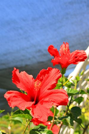 Red Hibiscus Flowers photo