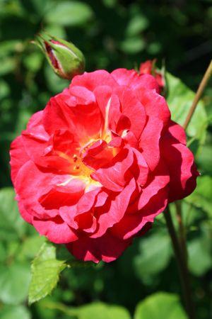 Pink Rose Flower photo