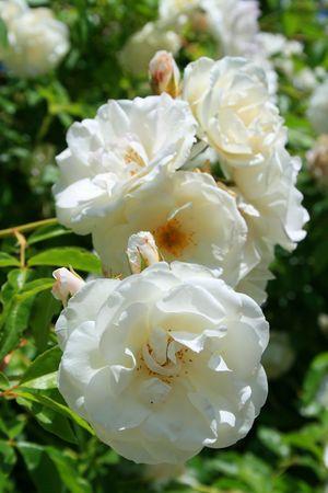 White Rose Flowers photo