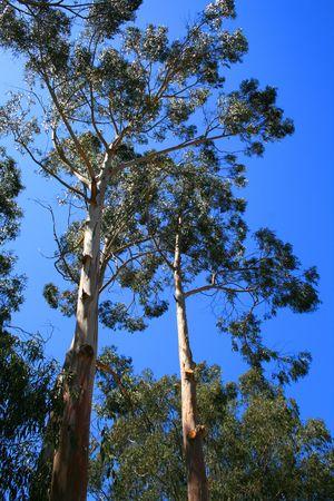ecodiesel: Eucalyptus Trees Stock Photo