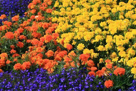 tree marigold: Marigold Flowers