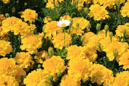 tree marigold: Marigold Flowers and a Daisy Flower
