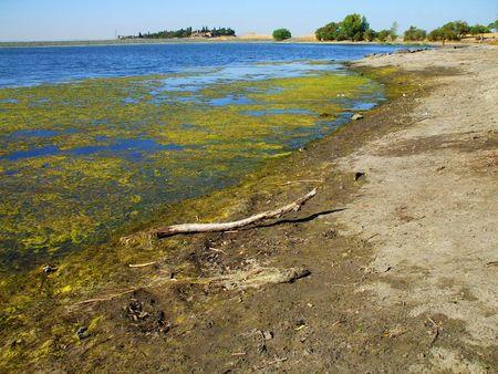 algas verdes: Algas verdes