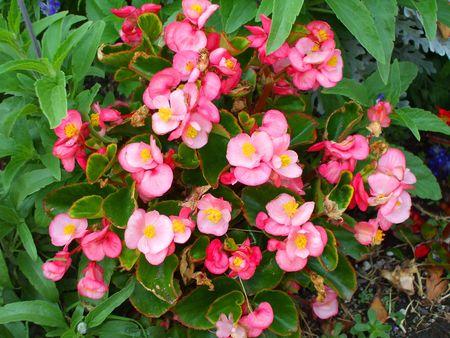 Pink Begonia Flowers photo