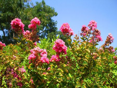 Pink Crepe Myrtle Flowers photo