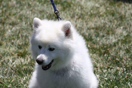 esquimales: Estadounidense perro de esquimal  Foto de archivo