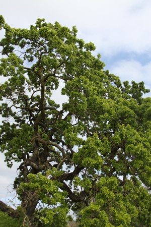 ecodiesel: Oak Tree Branches Stock Photo
