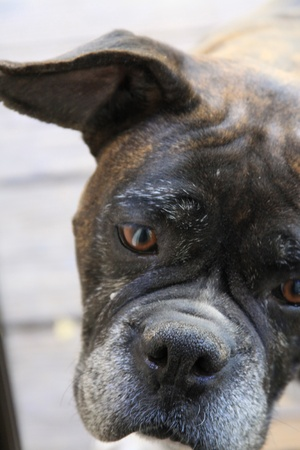 Boxer Dog photo