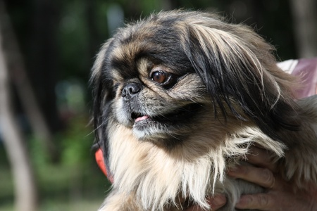 pekingese: Pekingese Dog Stock Photo