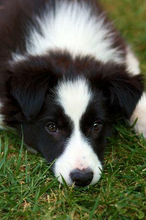 collie: Border collie puppy