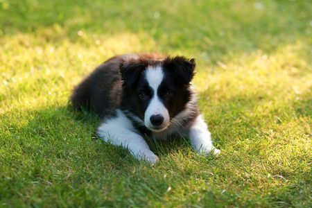 a small border collie dog puppy in the garden photo