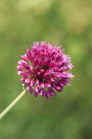 spheric: pink spheric flower