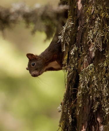 chasing tail: beautiful squirrel in the swiss national park Stock Photo