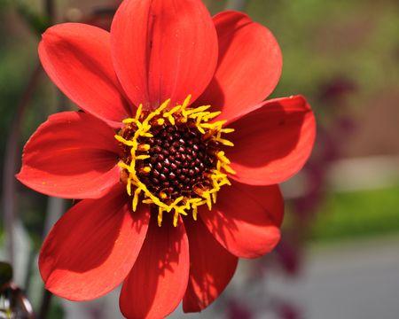 Red Daisy Stock Photo