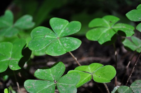 Macro shot of green clovers taken in Muir Woods