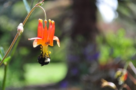 A bumble bee gathering pollen upside down from a flower